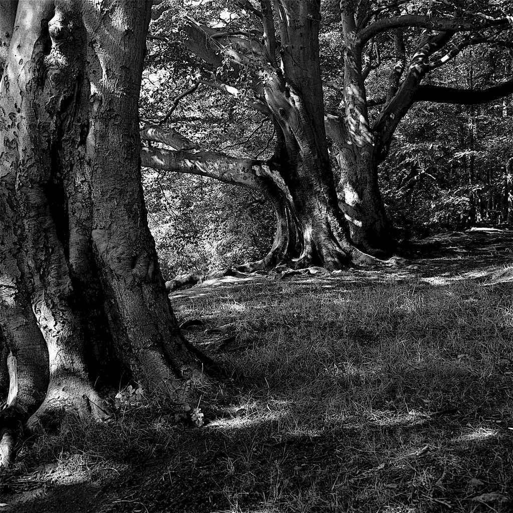 Giants Three - Castle Eden Dean; Mamiya C330, 80mm, Yellow Filter on Pan F #landscapes