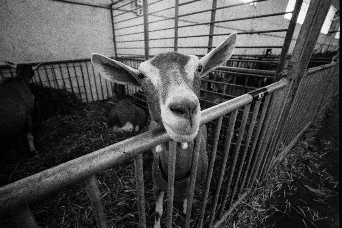 @adiw1202 This seemingly innocent goat makes me #happy. Ilford Delta 400. #ilfordphoto #fridayfavourites