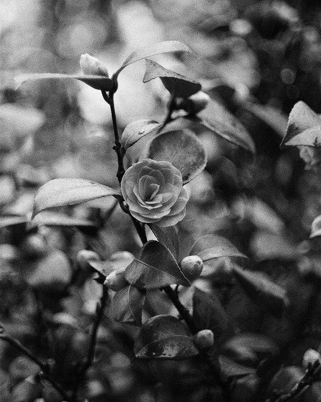 @mellonicoley 16h16 hours ago Hootlet More Camellia.... 🌺 Ilford Delta 400 (+1), shot with Nikon FM and Helios-44M-4 58mm f2 • @ilfordphoto #fridayfavourites #ilfordphoto #analogfeatures #grainisgood #analoguepeople #womenwhoshootfilm #35mmfilm #shootfilm #keepfilmalive #believeinfilm #analo… https://ift.tt/2O29MAc