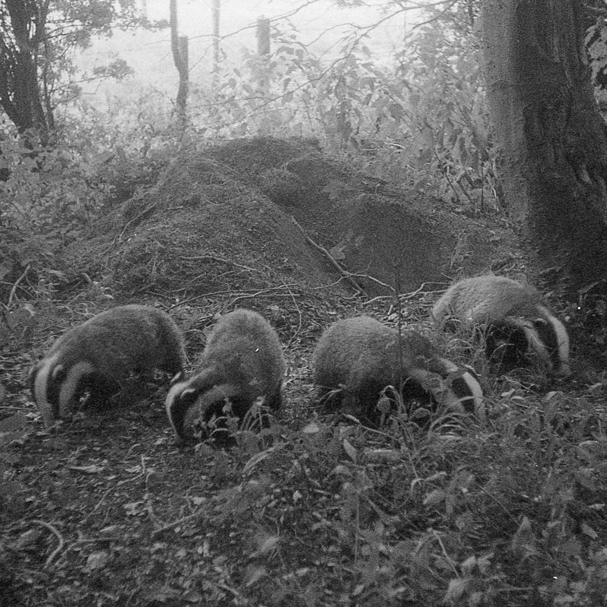 @badgermoon 14h14 hours ago Hootlet More You don't always need the latest camera, four badgers on #ilforddelta3200 pushed one stop 1/30th handheld #ilfordphoto #fridayfavourites