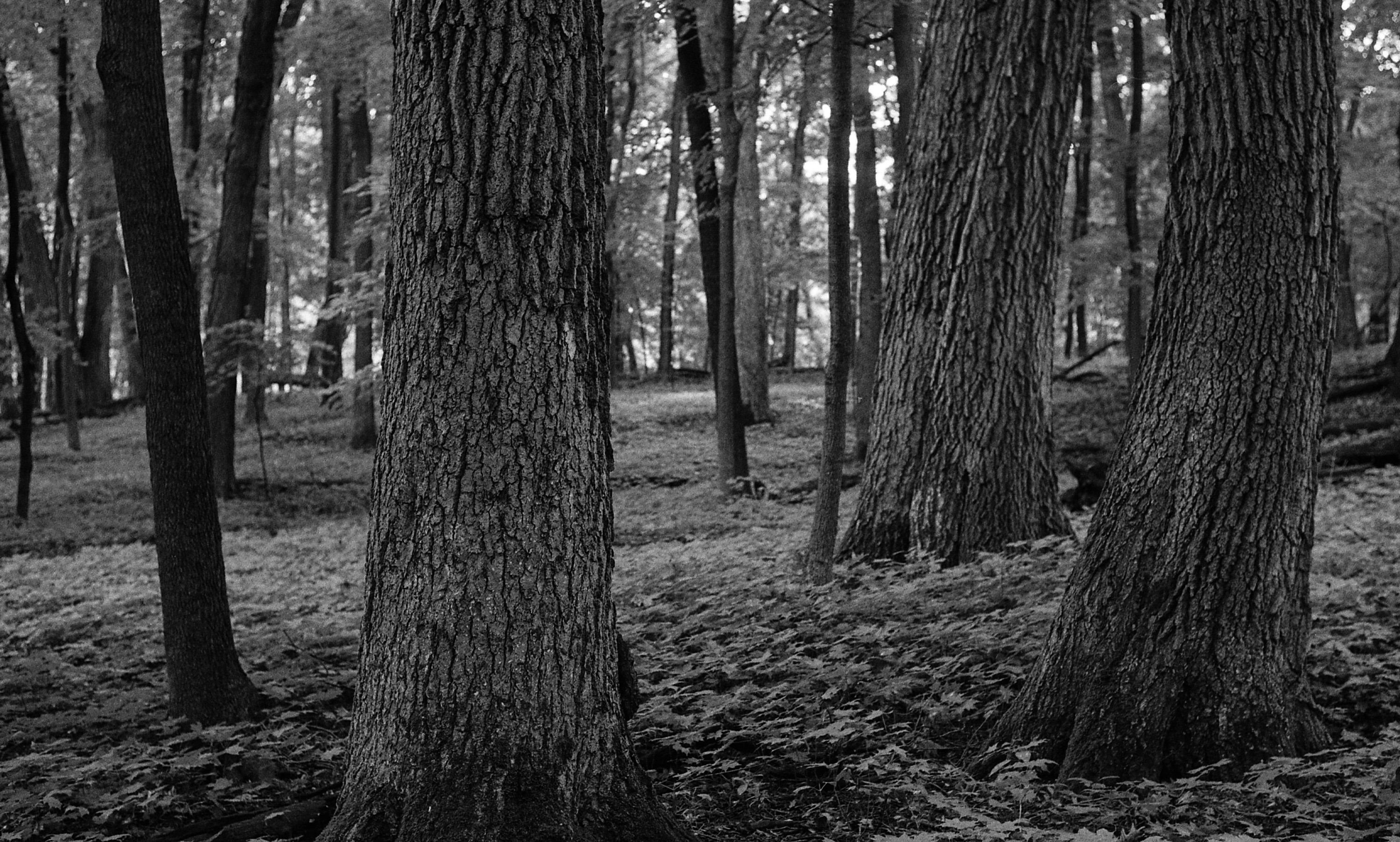 @tomnorthenscold · Oct 15 Depth of field drop off in the Big Woods. Kentmere 400 on a Nikon F. #depthoffield @ILFORDPhoto