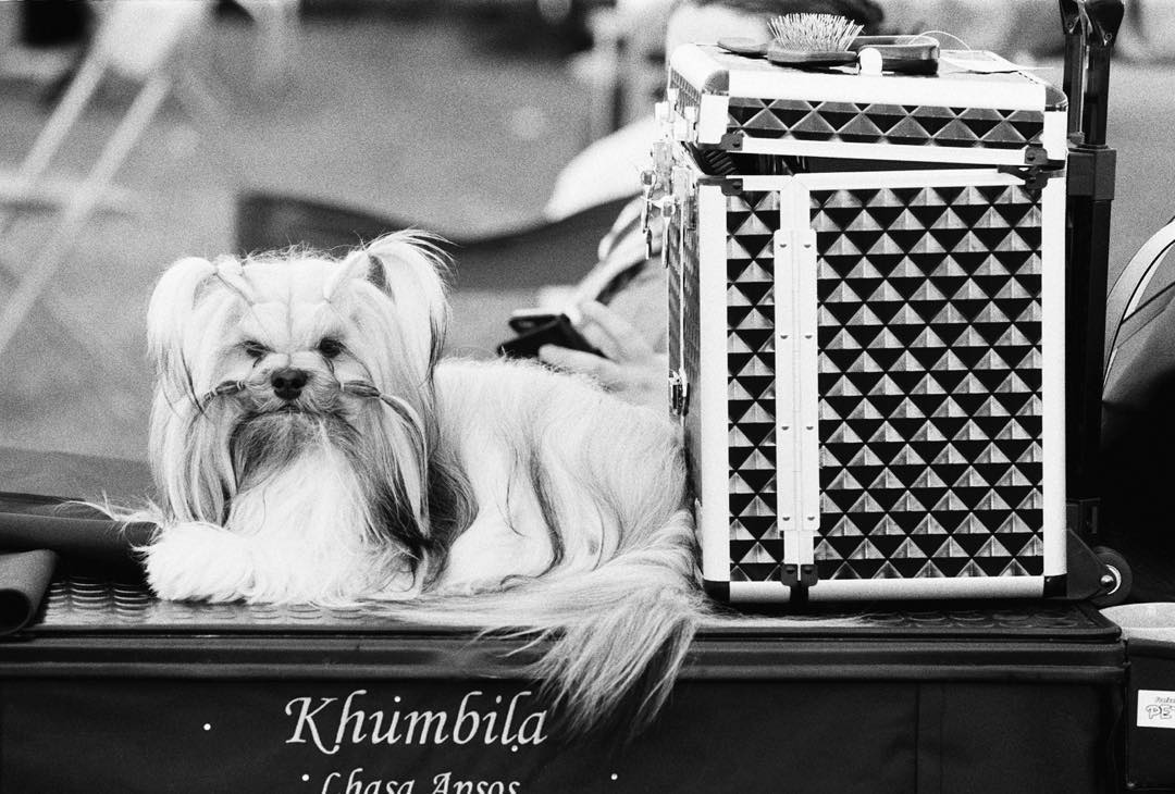 lizbenphoto Another one from Windsor #ilfordphoto #beauty #fridayfavourites #hp5 #lhasa also #dogshow #ilfordfridayfavourites