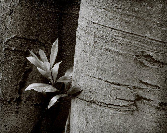 @ozalba Replying to @ILFORDPhoto Beech and rhododendron. C330S & #IlfordFP4 #IlfordPhoto #FridayFavourites