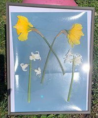 Organic items placed on paper in a frame exposed in sunlight - By Bob St Cyr