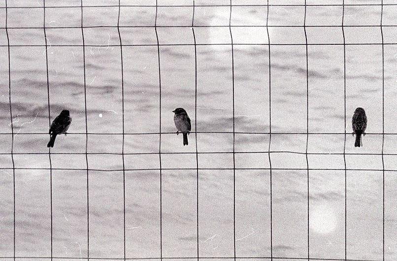 beatrizburnay Bird on the wire, Leonard Cohen #lyricsandfilm #fridayfavourites #ilfordphoto #ilfordhp5