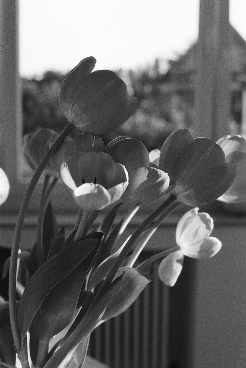 @DavyBlaker Sunlight on tulips, Ilford FP4 Plus #ilfordphoto #fridayfavourites #lightonfilm