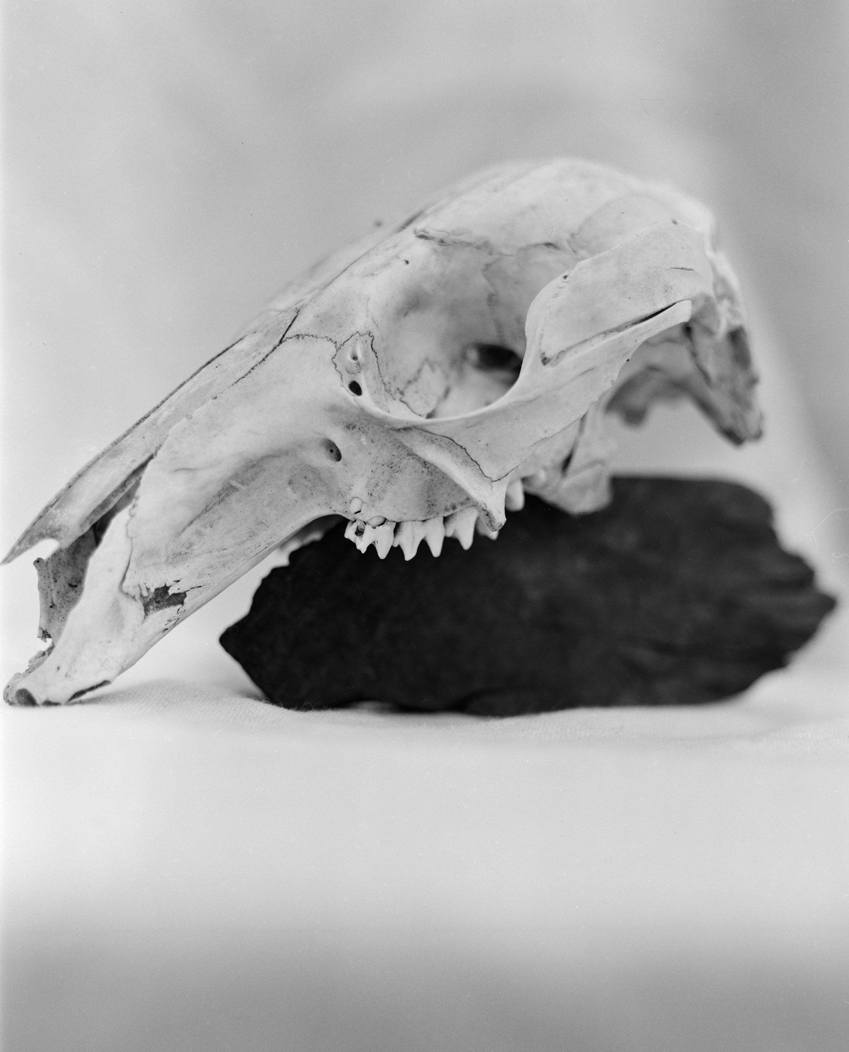 @TheTwelfthFrame Replying to @ILFORDPhoto Kangaroo skull and wood - Ilford HP5+ 4x5 sheet film - Toyo - Nikon Nikkor-w 210mm #shallowdof #ilfordphoto #fridayfavourites