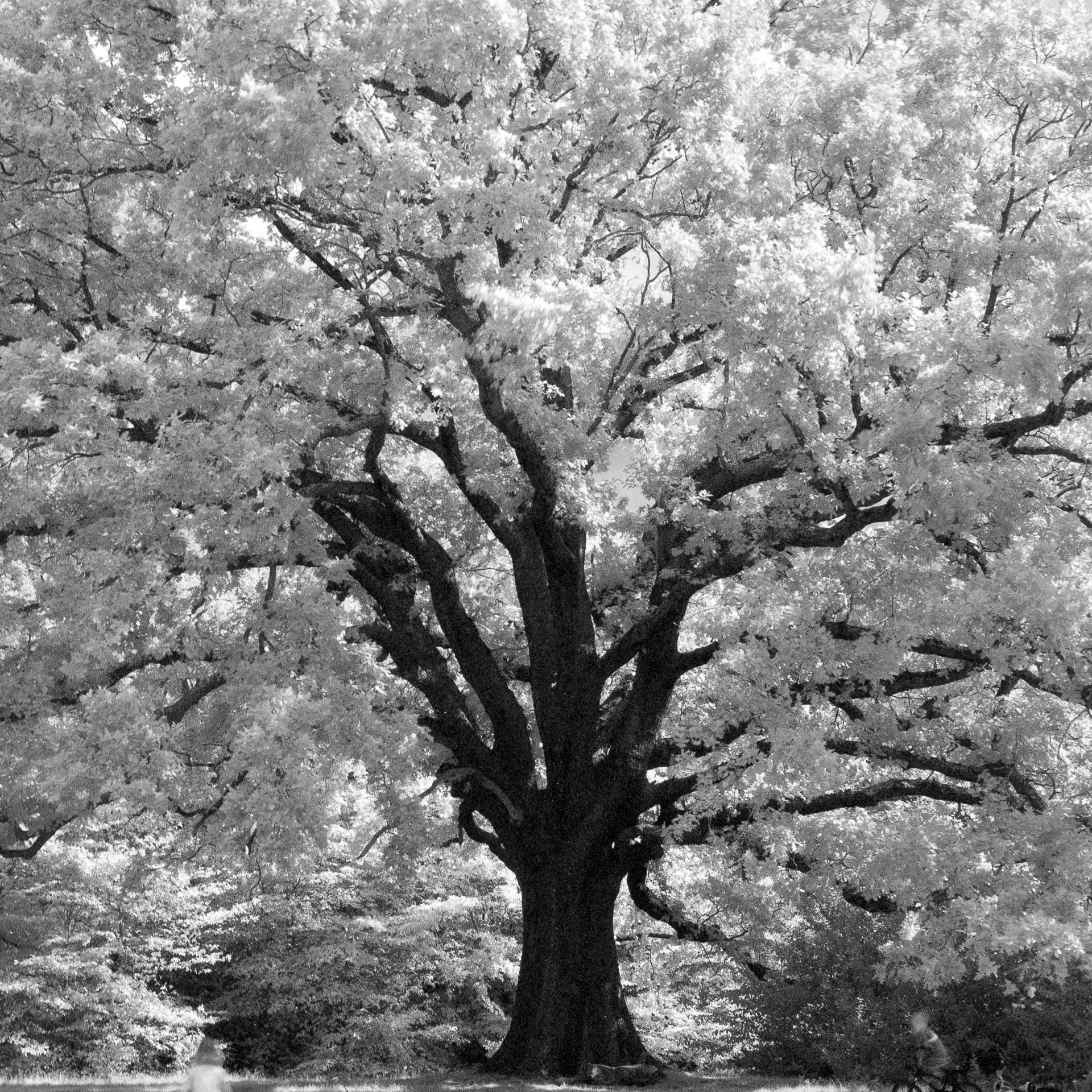 Paula Smith @paulasmithphoto · Jan 12 From my @ilfordphoto favourite shots of 2020. The Mighty Oak tree given some infrared treatment using SFX film and r72 filter. Camera: Bronica SQAI Film: Ilford SFX 200 Developed: Ilford DD-X 1+4 10mins #fridayfavourites #ilfordphoto #bestof2020 #believeinfilm