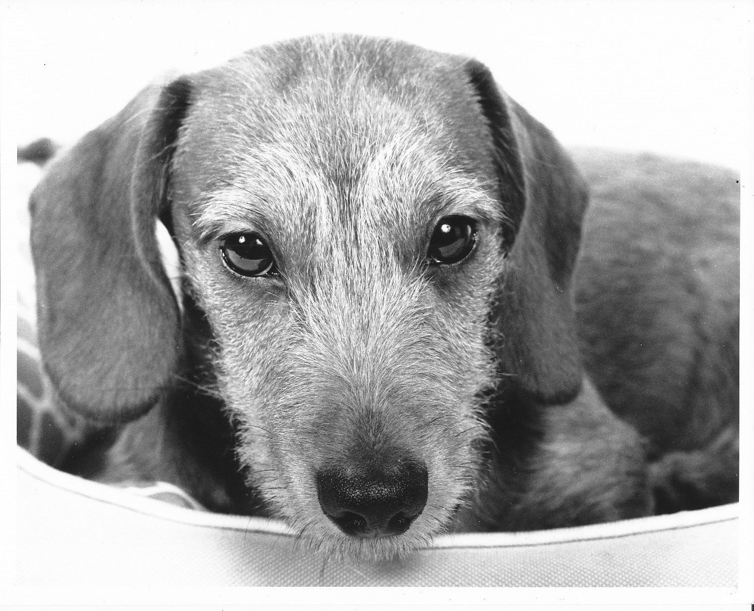 @essexcockney · Jan 27 Replying to @ILFORDPhoto here is little puppy sausage dog bailey looking cute ,he is a little terror... scanned 10x8 print Ilford classic FBVC paper.