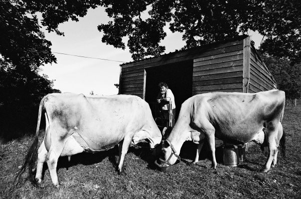 Simon Fairlie, editor of The Land magazine with his two Jersey cows in Bridport, Dorset on 26 May 2020. Using Olympus OM-40 Program with XP2 Super and Zuiko 21 mm/f3.5 lens.