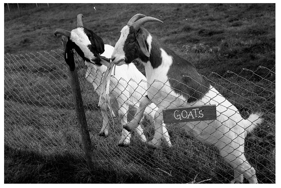 @jonadaskin · 19h Goats. Shot using HP5, developed with DDX, fixed with rapid fixer. Paper developed with Multigrade, ilfostop, rapid fix! 15 sec with grade naught, and 15 sec with grade 5. Light dodging and burning. #ilfordphoto #fridayfavourites #printedwithpassion @ILFORDPhoto