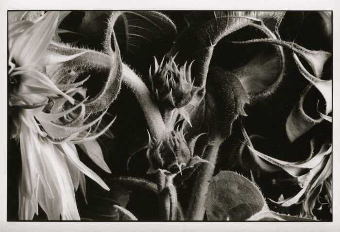 @justgipsy · 16m #ilfordphoto #printedwithpassion #fridayfavourites Darkroom prints #Delta100 rated @ 50, selenium toned, part of a sunflower series