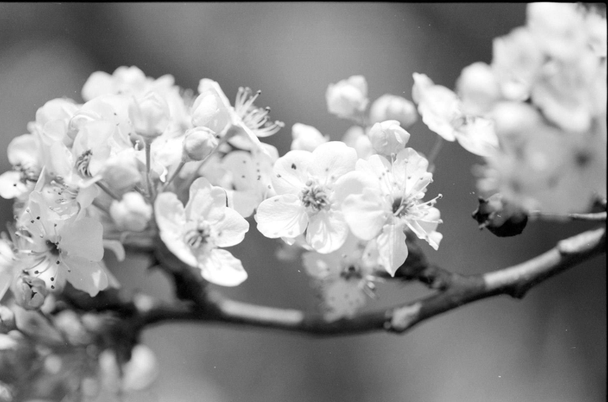 @bsanfordjr · 20h Replying to @ILFORDPhoto Bradford pear in bloom on Delta 100. #fridayfavourites #springinbandw #ilfordphoto