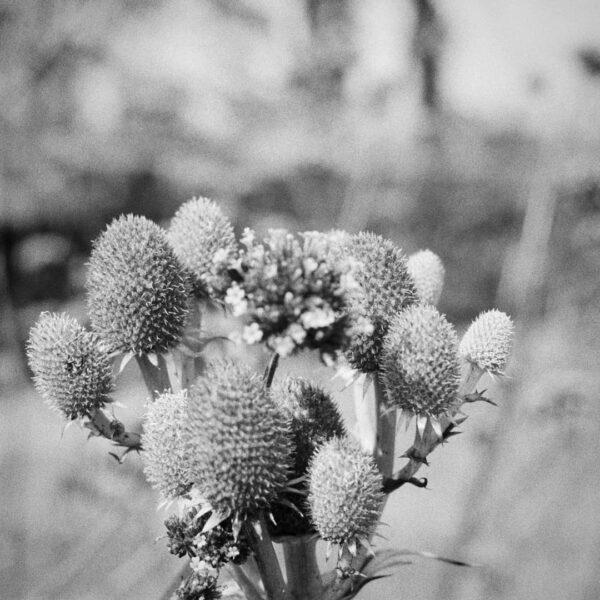 shelby2003.mp So many beautiful thistles and flowers in the gardens @culzean #familyfun #familytime #ilfordphoto #kentmere400 #kpan400 #istillshootfilm #gameoftones #analoguevibes #olympusom10 #filmisnotdead #gameoftones #35mm #blackandwhitefilm #ilfordphoto #fridayfavourites #filmbokeh