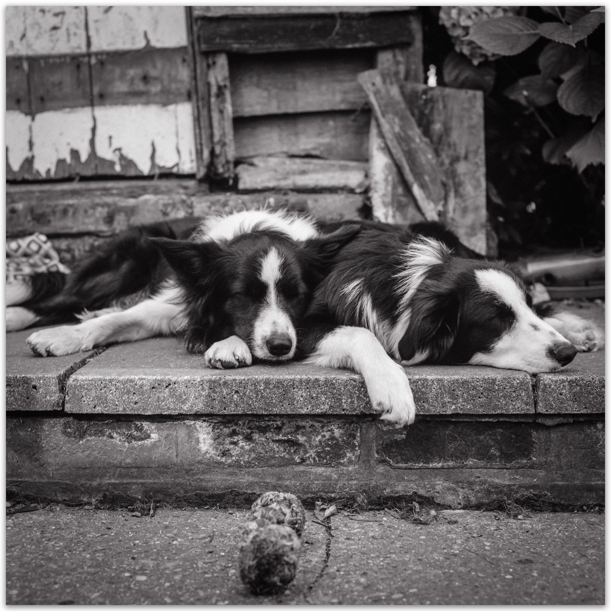 @apkeedle · Jul 8 Replying to @ILFORDPhoto Our two boys who are no longer with us. We have this printed large over the fireplace. Luka and Buddy. Smiling face with heart-shaped eyes Blad with FP4 #ilfordphoto #fridayfavourites #filmmemories