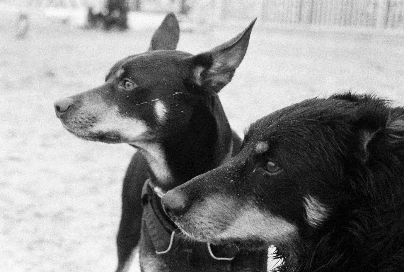 My puppies Brenin and Rwc (Front to back) on the beach, clearly interested in something in the distance. Shot on HP5.